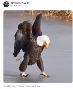 L'aigle US